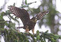 merlin wings